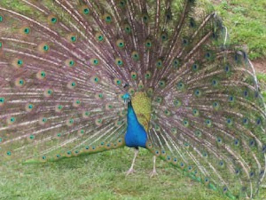 our peacock